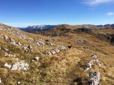 Steinböcke beim Windschartenkopf