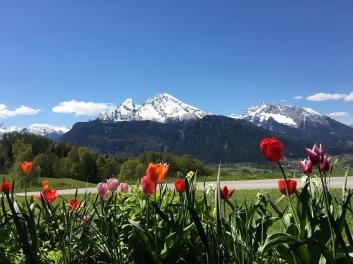 Watzmann im Frühling mit Tulpen